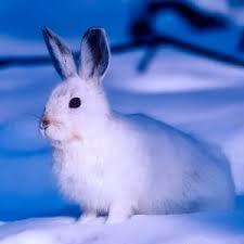 Imagini pentru iepurele arctic